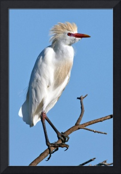 Cattle Egret #830