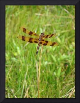 Tiger Stripe Dragonfly