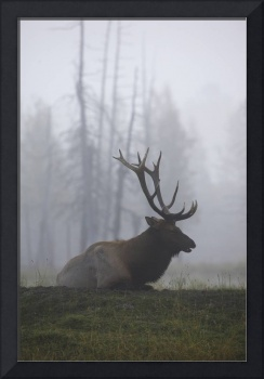 A Roosevelt Bull Elk Lies On A Hillside In Early M