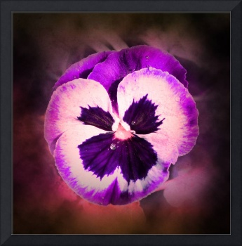 Purple Pansy With Water Droplets