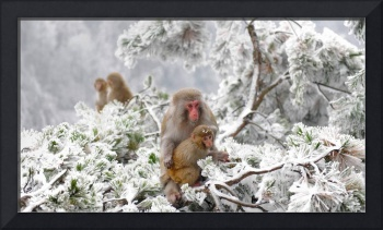 Rhesus Macaques in China