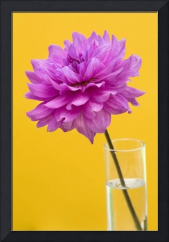 Pink Dahlia in a Vase Yellow Orange Background