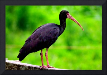 Black ibis of Colombia
