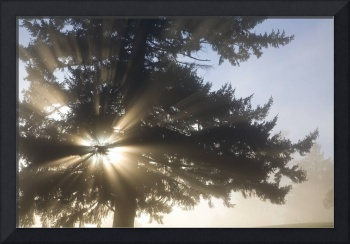 Light Through Tree, Willamette Valley, Oregon
