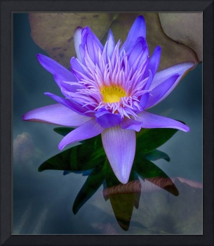 Glorious Water Lily
