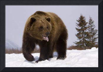 Grizzly Bear At The Alaska Wildlife Conservation C