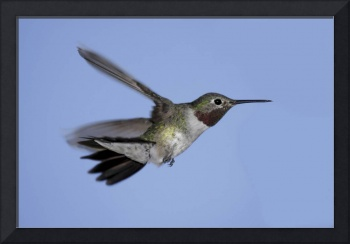 Broad-Tailed Hummingbird Photograph