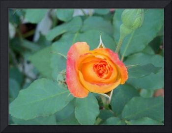 4002 yellow pink and orange rose bud with lots of