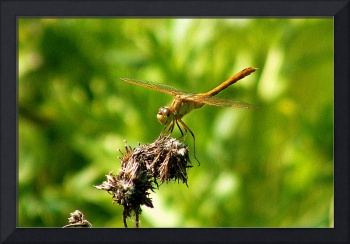 Dragonfly 2007 - DelCalsione Company Image