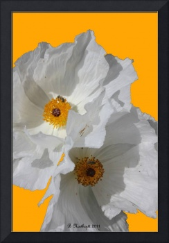 White Poppies On Yellow