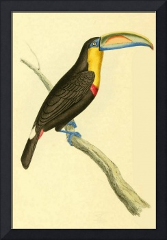 Sharp billed Toucan - PD Image
