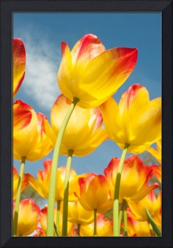 Worms eye view of tulips