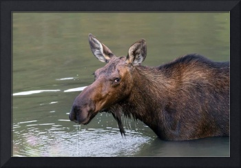 Female Moose Head
