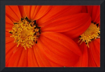 orange daisey flower