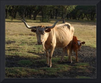 Longhorn Mama and Calf Near Goliad