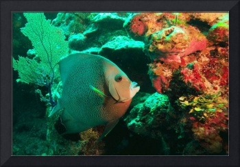 Angelfish and Reefs Colors
