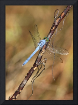 Blue Dragonfly Portrait