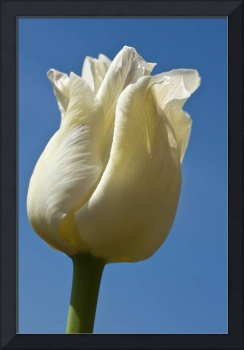 A White Tulip Against A Blue Sky Northumberland,
