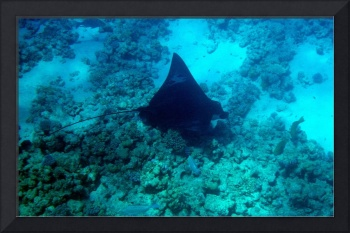 giant eagleray with parrot pals