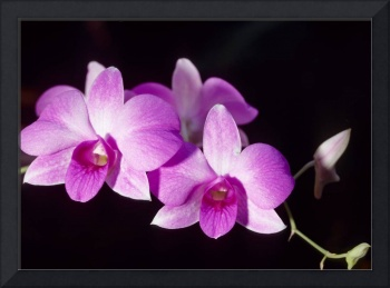 Purple Dendrobium Orchids