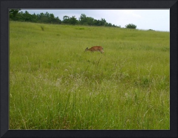 Deer on the Skyline Drive