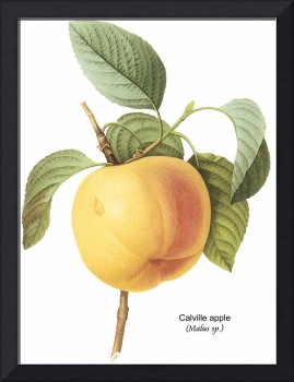 Calville Apple (Malus sp.) Botanical Art