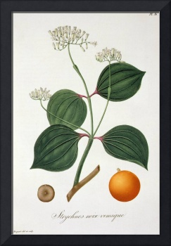 Strychnos nux vomica from 'Phytographie Medicale'