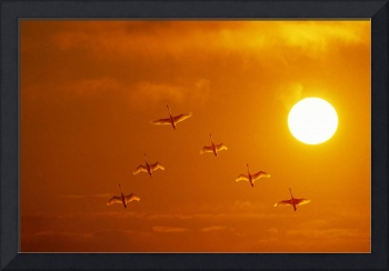 Swans flying at sunset Composite