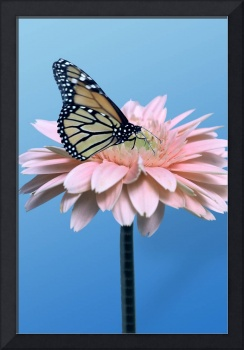 Gerbera Daisy and Butterfly