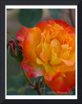 Orange-Yellow Rosebud Bloom