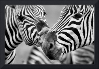 Zebras in Black and White