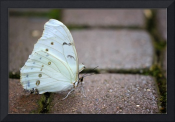 White Morpho Butterfly on the Path