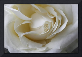 Creamy White Rose