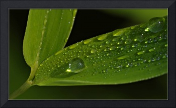 Bamboo with Drops