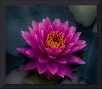 Voluptuous Water Lily