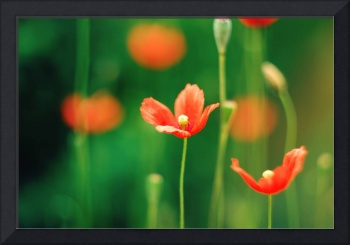 Poppy Fine Art Floral Photography
