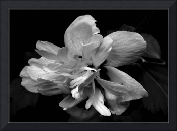 Rose of Sharon ll   B&W