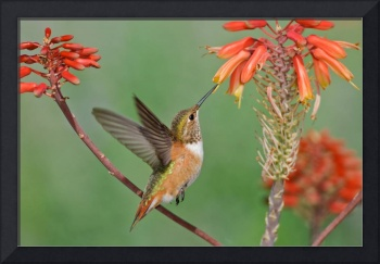 Rufous Hummingbird in flight