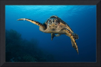 The hawksbill sea turtle, Bonaire, Caribbean Nethe