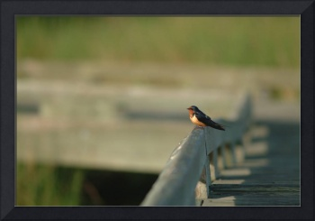 Barn Swallow Greets the Sun
