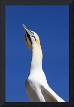 A Single Gannet Searches The Sky For Her Mate On B