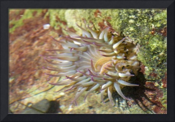 Moonglow Anenome