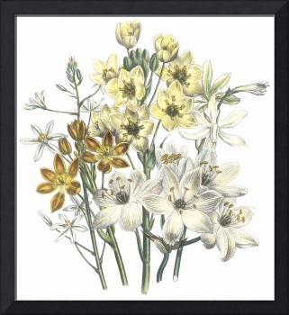 Ornithogalum Flowers by Jane Webb Loudon