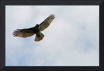 Red-Tailed Hawk in Sky