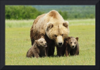 A Brown Grizzly Bear With Cubs Alaska, United Sta