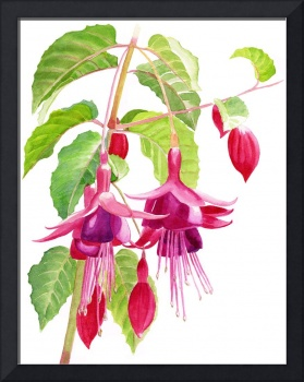 Red and Purple Fuchsias white background
