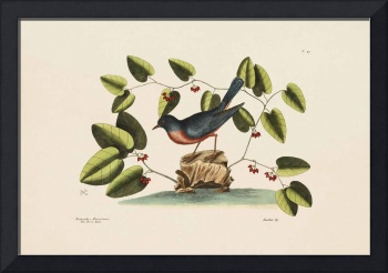 Mark Catesby~The Blue Bird, The Natural History of