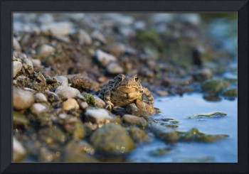 Toad on the Thames