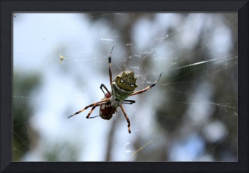 Orb Weaver Spider Wrapping Prey