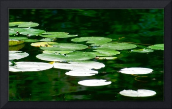Lily Pads on the Pond